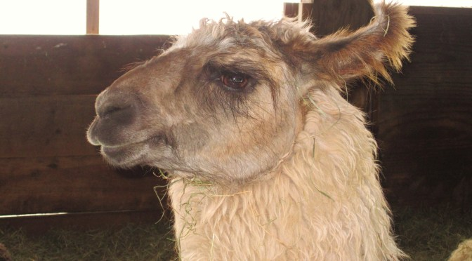 A Legend is Born: Meet our New Llama (S'14)